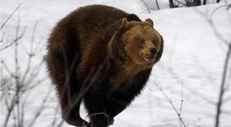 oblava-medvedya