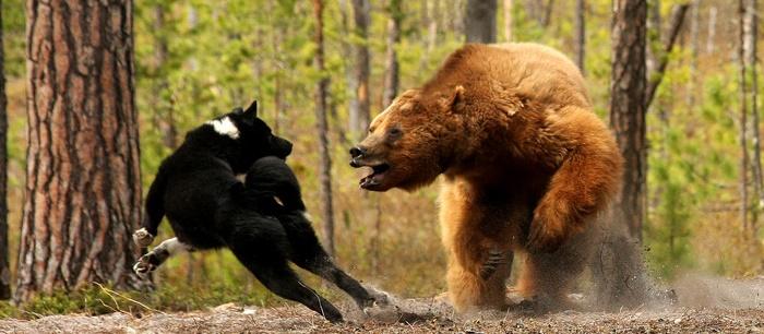 ohota-na-medvedya