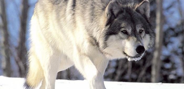 ohota-na-volka