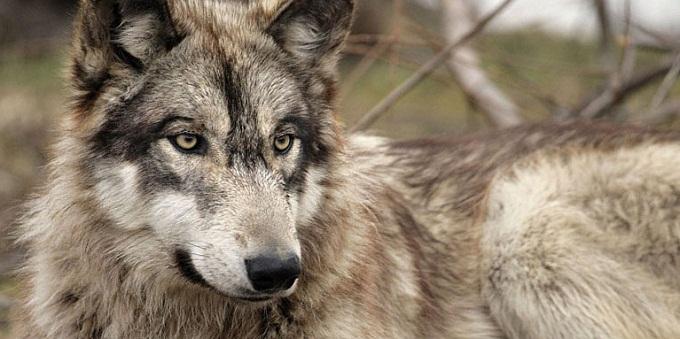ohota-na-volkov