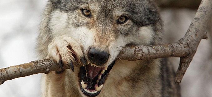 volk-ohotnik