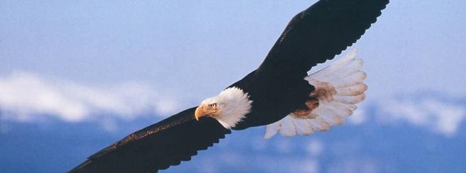 belogovovii-orlan-interesnie-fakti